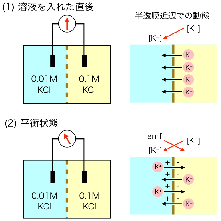 membrane3.png